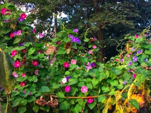 Gazing at Morning Glories